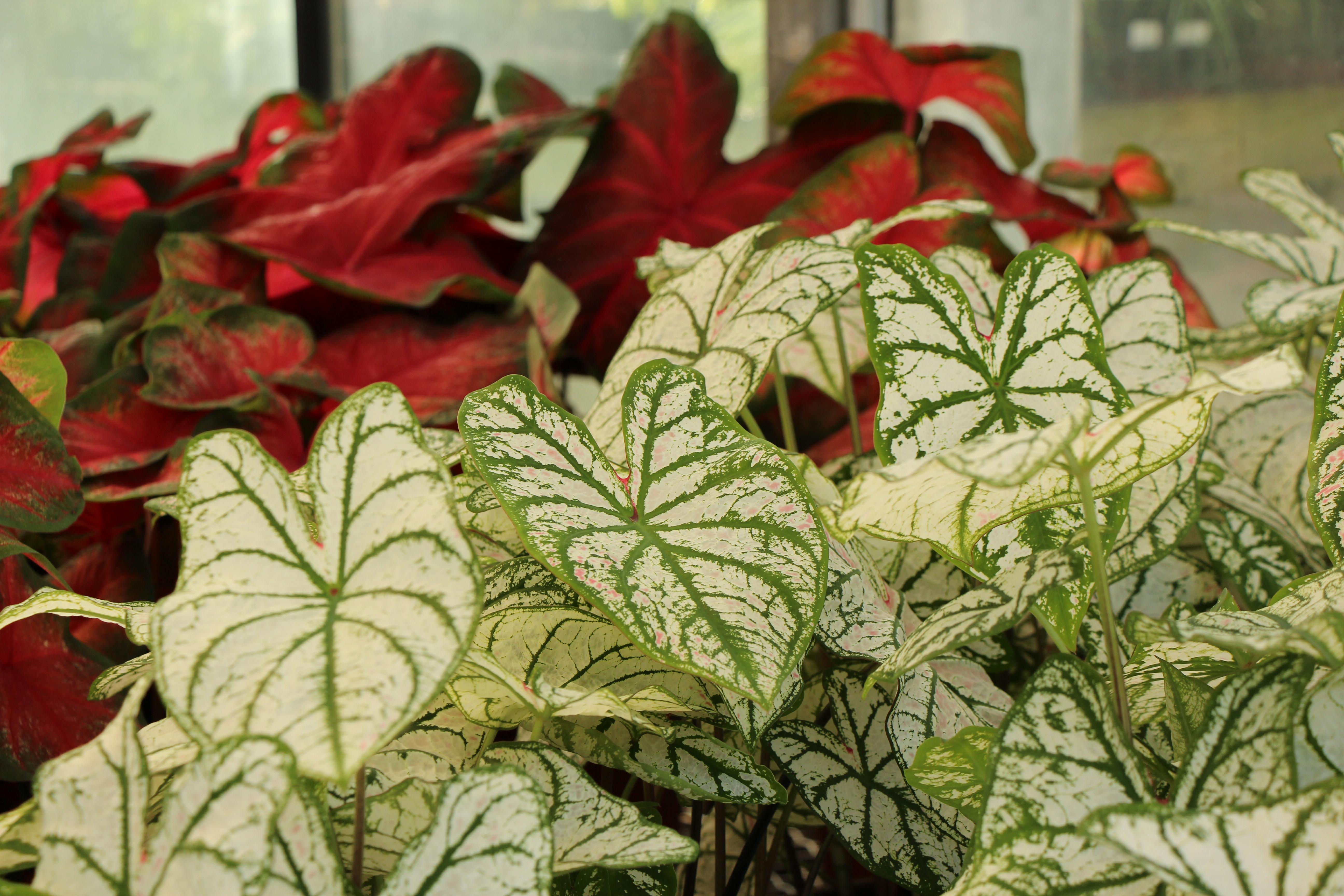 Caladium Croton Vinca Succulents